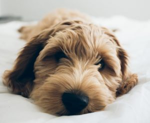 Cute dog sleeping on a bed